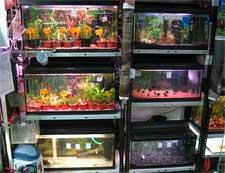 Купить аквариумных рыбок из разводни
